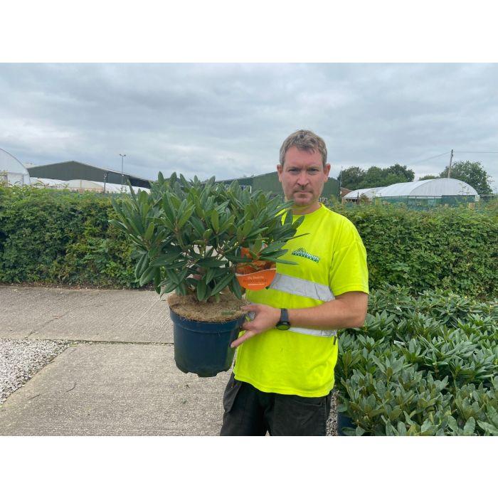 Rhododendron Hybrid Tortoise Orange 7.5 Litre Pot