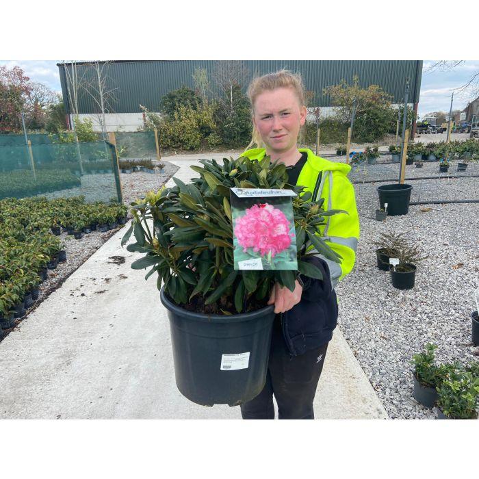 Rhododendron Yakushimanum Polaris 20 Litre Pot