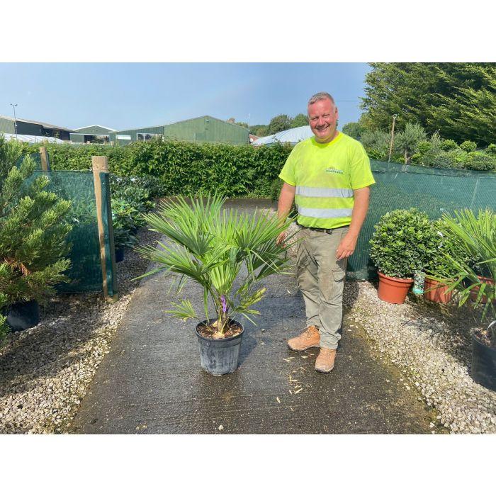 Trachycarpus Fortunei 18 Litre Pot