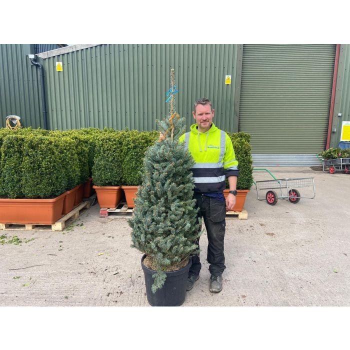 Picea Pungens Fat Albert 55 Litre Pot 150/175CM
