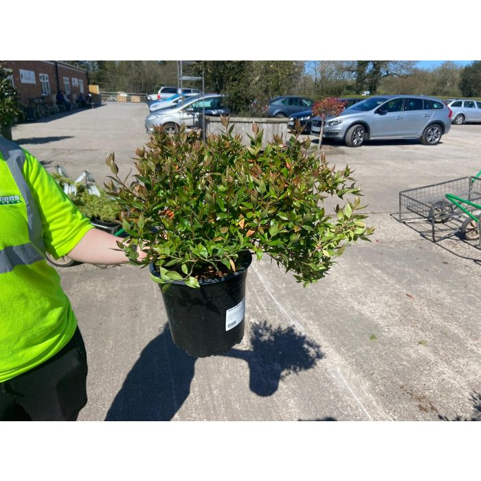 Abelia x Grandiflora Sherwood 4.5 Litre Pot