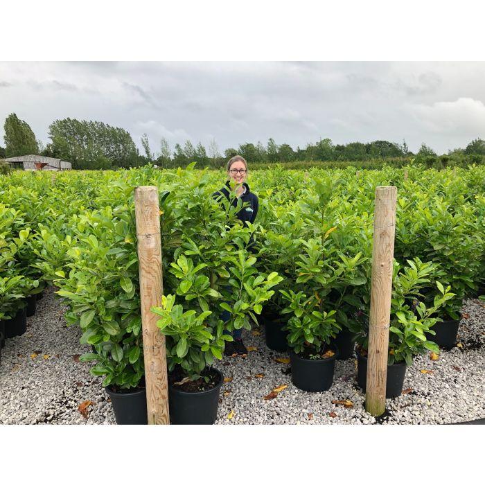 Laurel Hedging 120/130cm 15 Litre