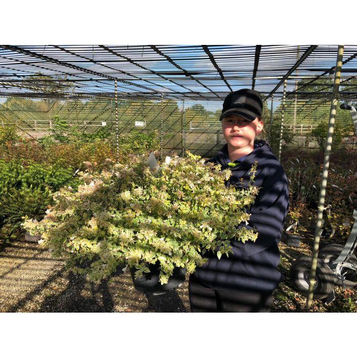Abelia x Grandiflora Sparkling SIlver 10 Litre Pot