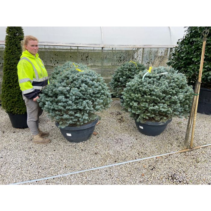 Abies Procera Glauca 70Litre Bowl Pot