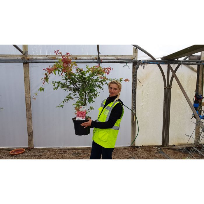 Acer palmatum Beni Maiko 7.5 Litre Pot