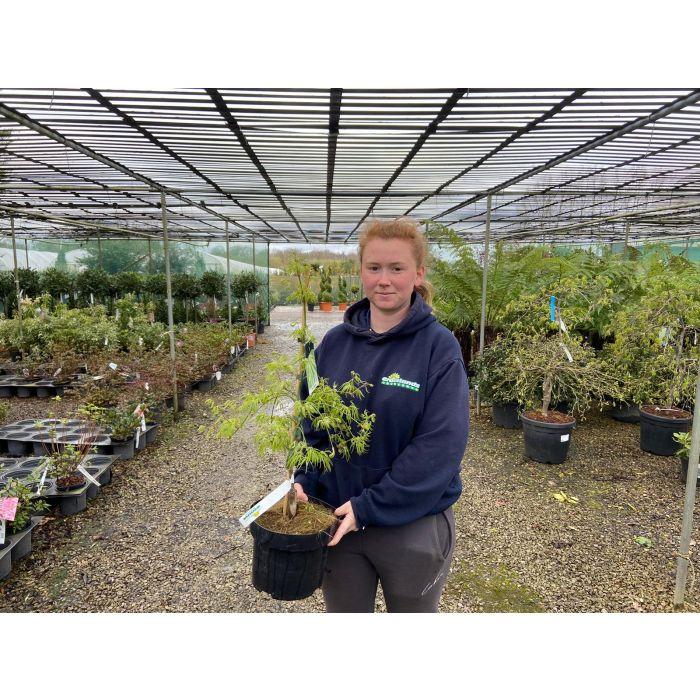Acer palmatum Dissectum 5 Litre Pot