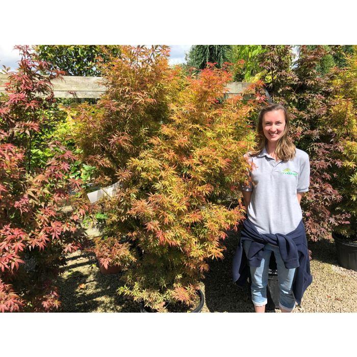 Acer palmatum Jerre Schwartz August 2019