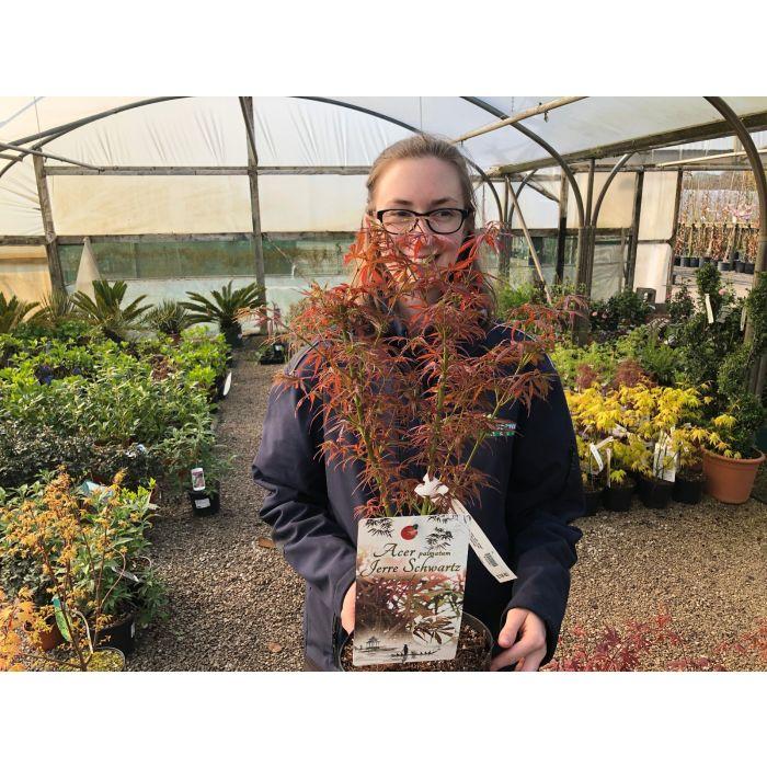 Acer palmatum Jerre Schwartz 3 Litre