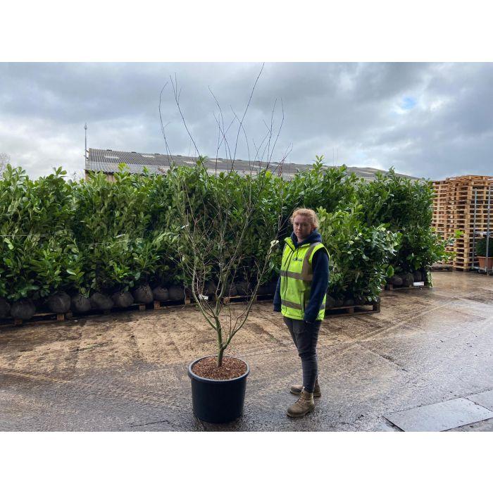 Acer palmatum Suminagashi 50 Litre Pot