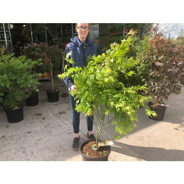 Acer palmatum Tsumagaki 20 Litre Pot