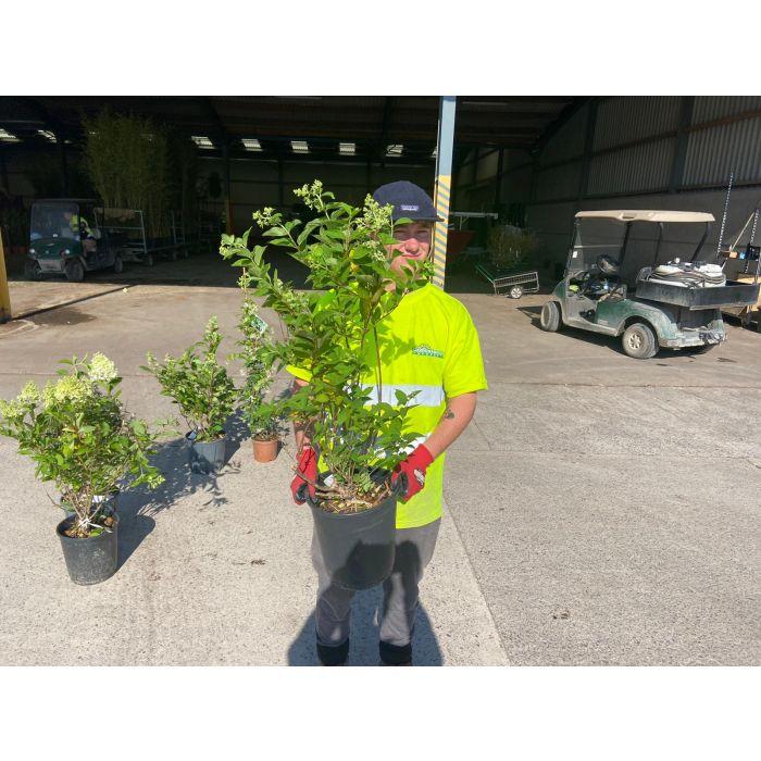 Hydrangea Paniculata Limelight 9 Litre Pot
