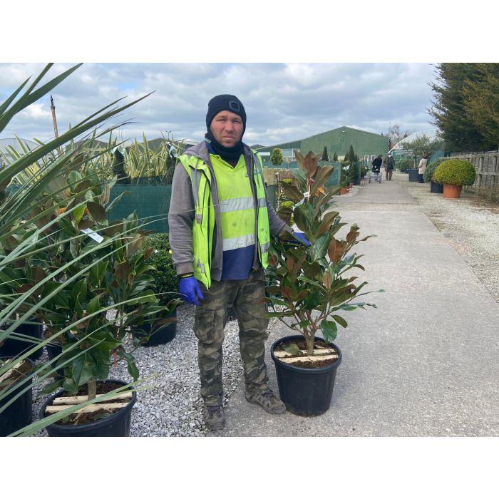 Magnolia Grandiflora 25 Litre Pot 125cm