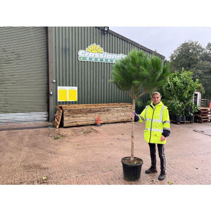 Pinus Pinea 30 Litre Pot Half Standard