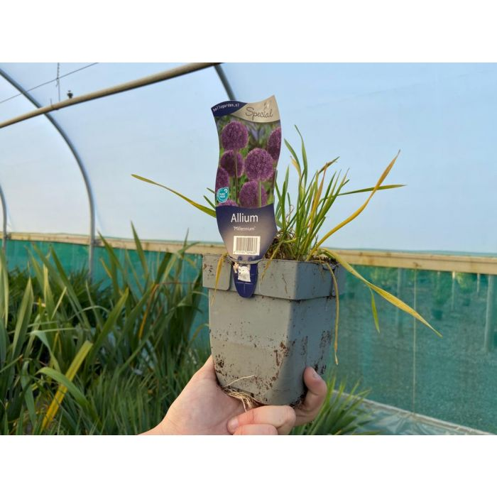 Allium Millenium 11cm Pot