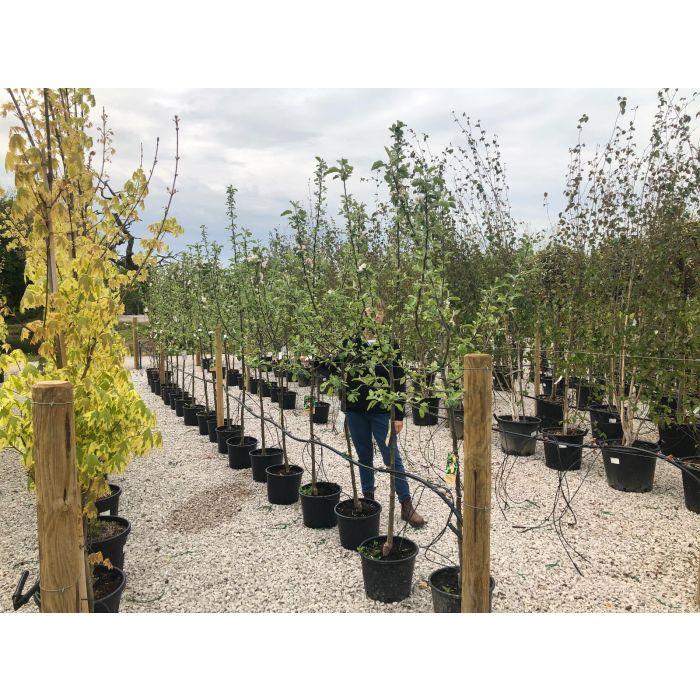 Apple Bramleys Seedling 15 Litre Pot