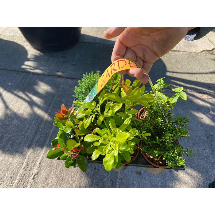 Hardy Evergreen Shrub Mix 6 Plants 9 cm Pots