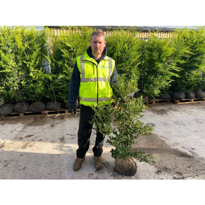 Ilex Aquifolium Root Ball 80/100cm