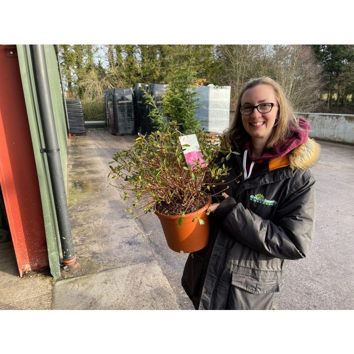 Azalea Japonica Gilbert Mullie 10 Litre Pot