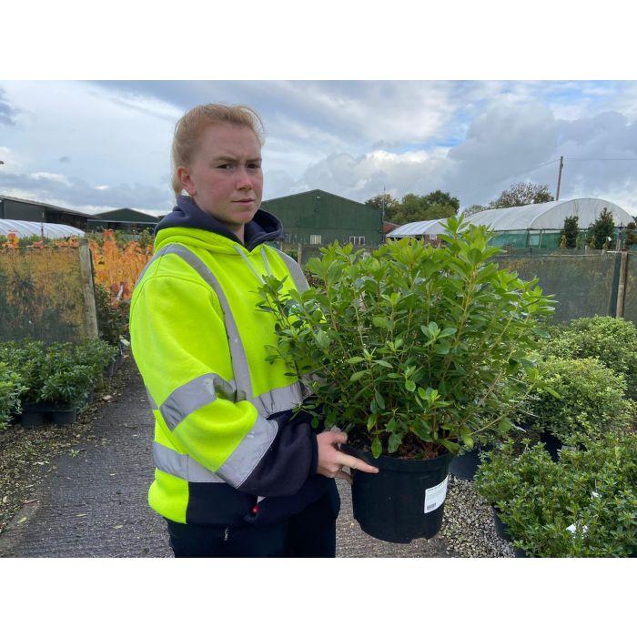 Azalea Japonica Gilbert Mullie 5 Litre Pot