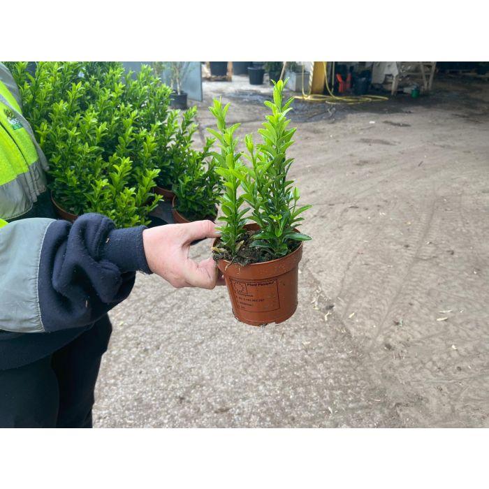 Euonymus Jap. Green Spire 11 cm Pot