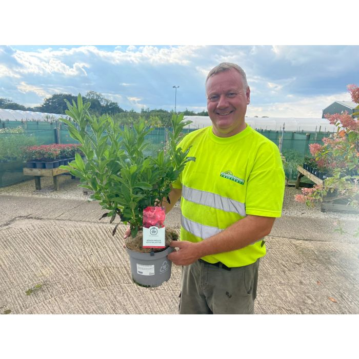 Azalea knaphill Koster 5 Litre Pot