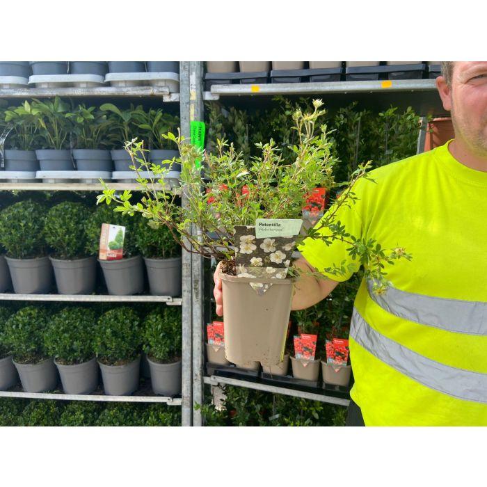 Potentilla fruticosa Abbotswood 11cm Pot