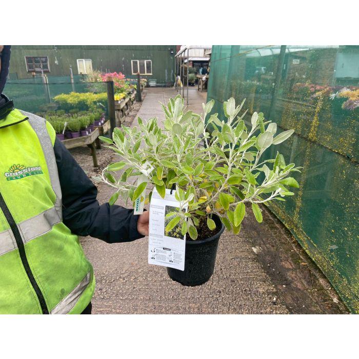 Senecio Compactus Drysdale 4.5 Litre Pot