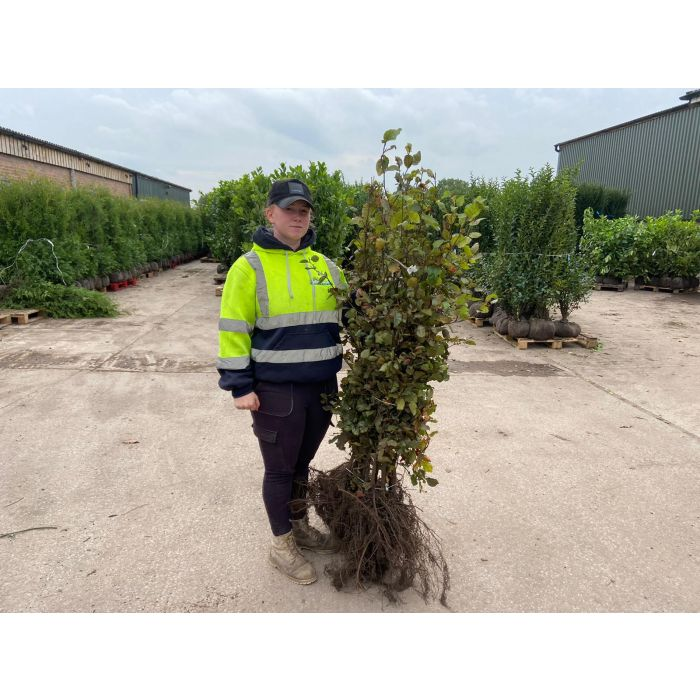 Beech Hedging Green 100-120cm Bare Root Digging Now