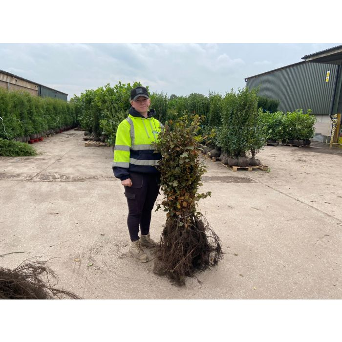 Beech Hedging Green 80-100cm Bare Root