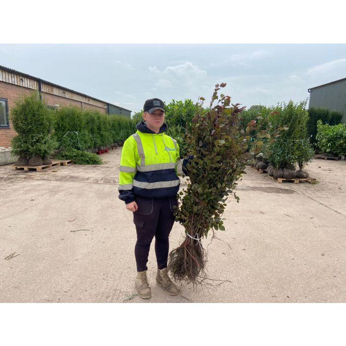 Beech Hedging Purple Bare Root 60/80cm Digging Now