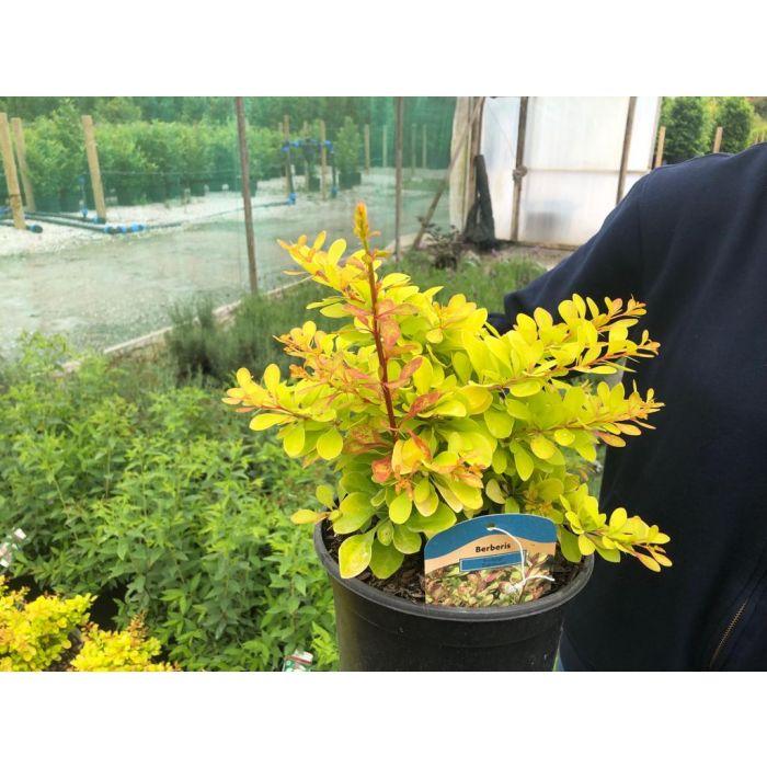 Berberis Diabolicum 3 Litre Pot
