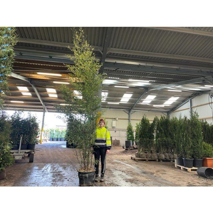 Black Bamboo - Phyllostachys Nigra 35 Litre Pot 2.5-3m+