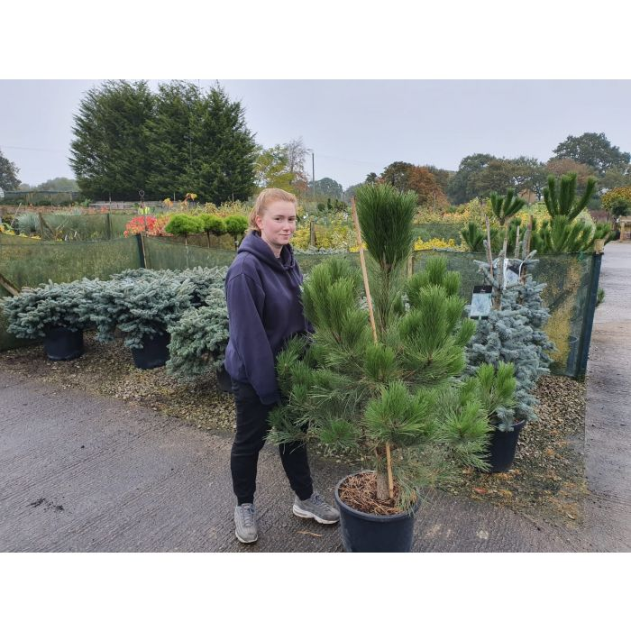 Pinus Nigra Nigra 25 Litre Pot 130/170 cm