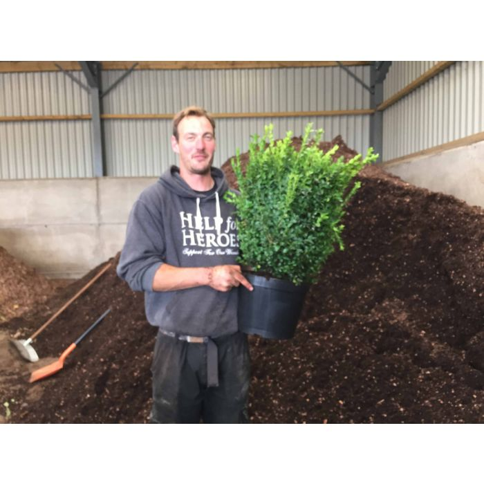 Box Hedging 40/50cm  Root Ball Digging Now