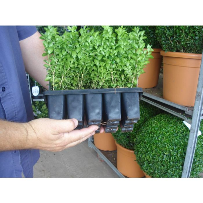 Box Hedging 10 Plants in a Tray 15cm