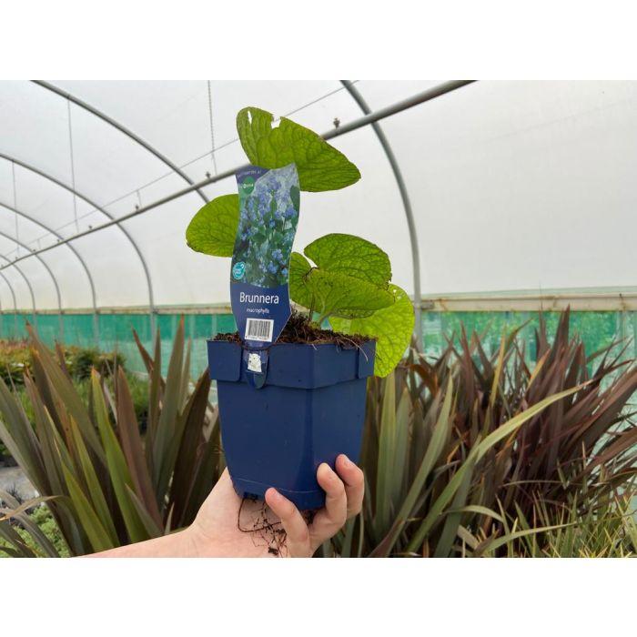 Brunnera macrophylla 11cm Pot