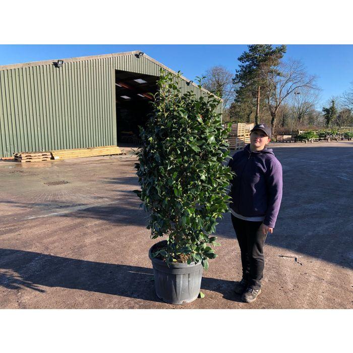 Camellia Japonica Brushfield 70 Litre Pot 160cm