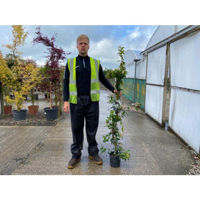 Trachelospermum Jasminoides 2 Litre Pot 100/120cm