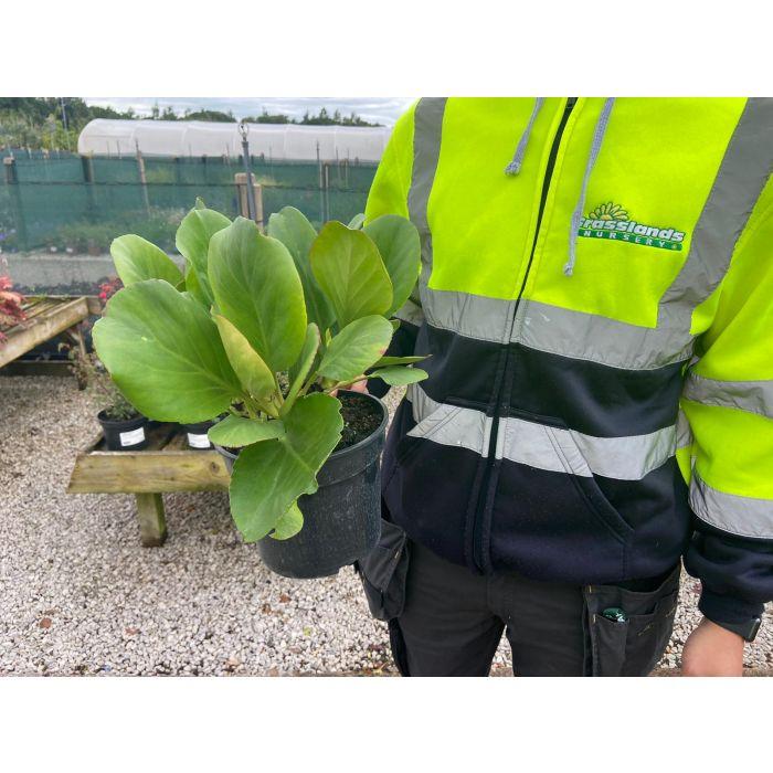 Bergenia Cordifolia 3 Litre Pot