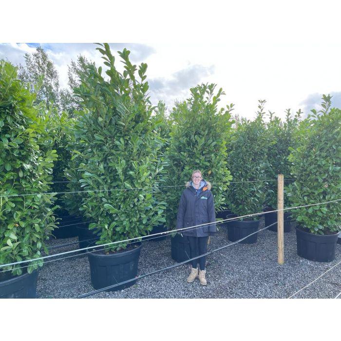 Laurel hedging 250-300cm Super Wide Root Ball Digging Now
