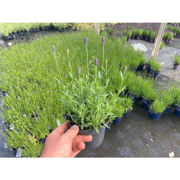 Lavender Essence Purple 13cm Pot
