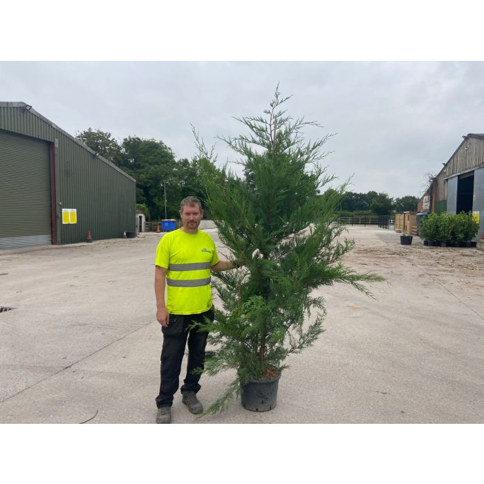 Green Leylandii Hedging 25 Litre Pot 200/225cm