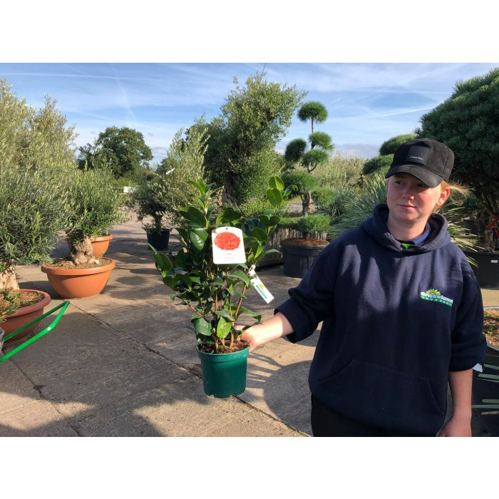 Camellia Japonica Kramers Supreme 1.5 Litre Pot