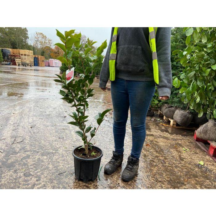 Camellia Jap. Mrs Charles Cobb 9 Litre Pot