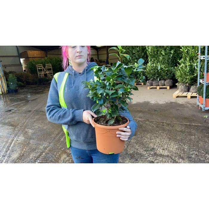 Camellia Japonica Black Lace 5 Litre Pot