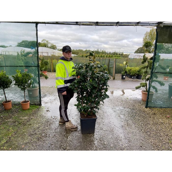 Camellia Japonica Margret Davis 20 Litre Pot