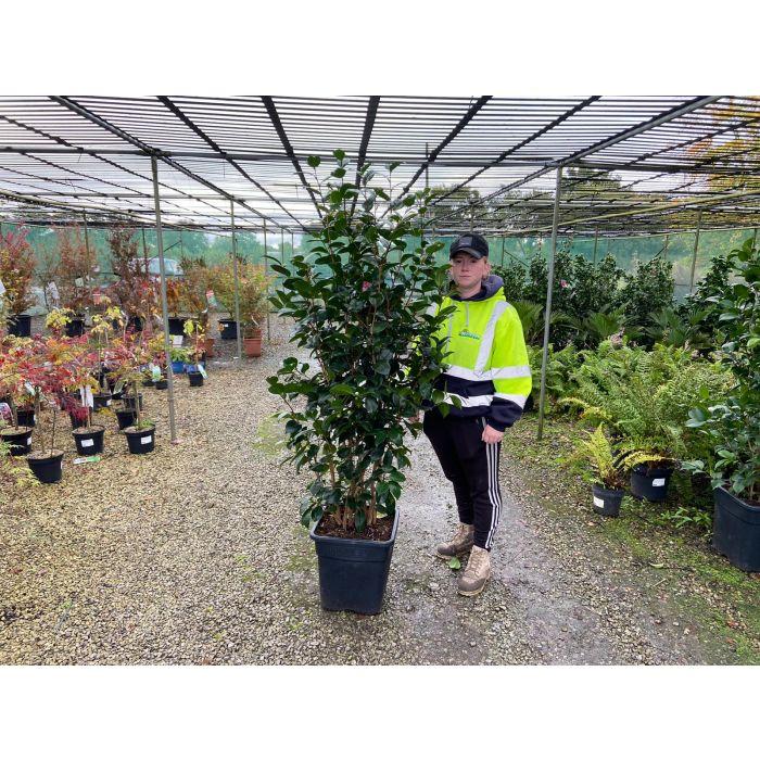 Camellia Japonica Margret Davis 30 Litre Pot