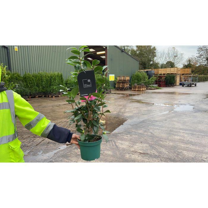 Camellia Japonica Scentsation 3 Litre Pot