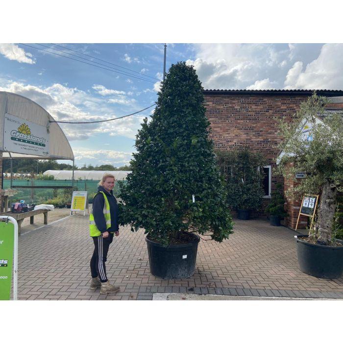 Camellia Japonica Mature Cone Shape 285 Litre Pot 3-3.5 metres