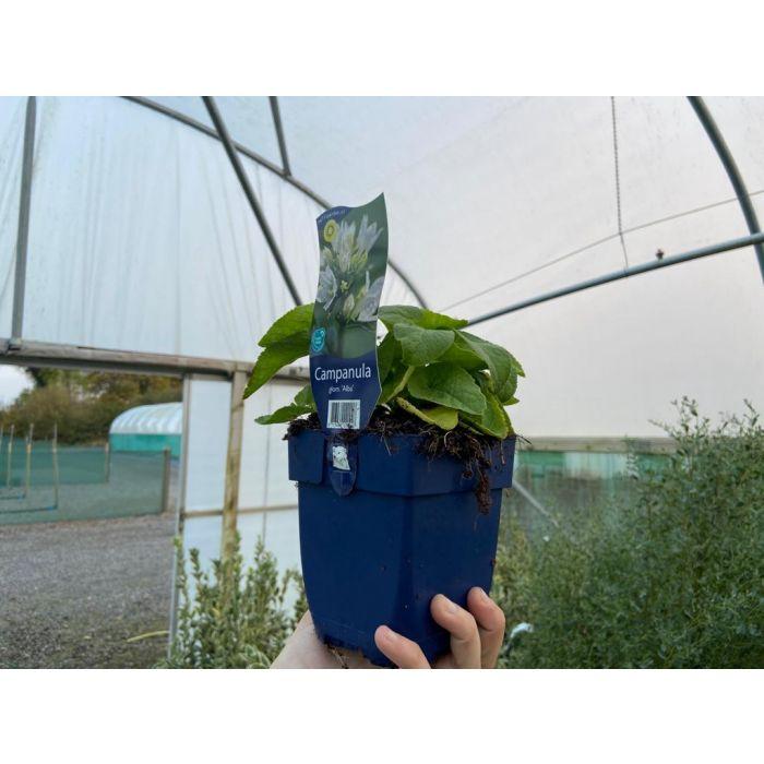 Campanula Glomerata Alba 11cm Pot